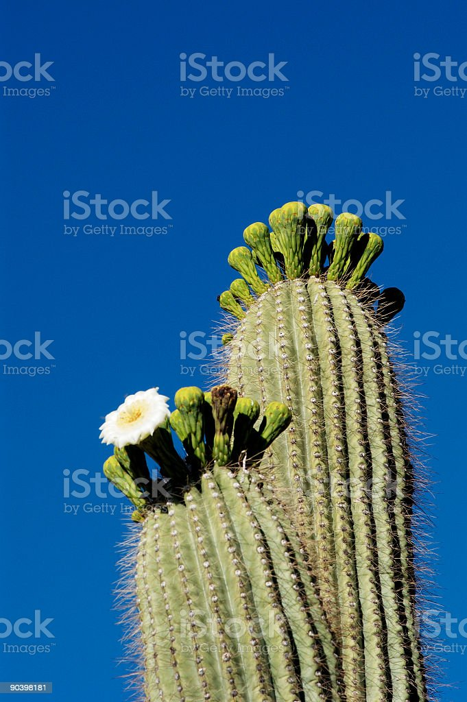 Desert Bloosoms 5 royalty-free stock photo