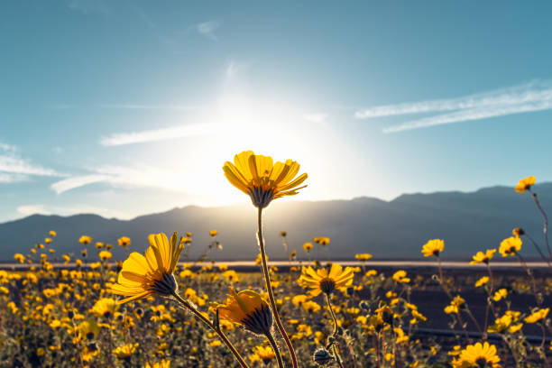Desert Blossom Sunflowers at Sunset, Death Valley National Park, California Super boom in Death Valley National Park, California mojave desert stock pictures, royalty-free photos & images