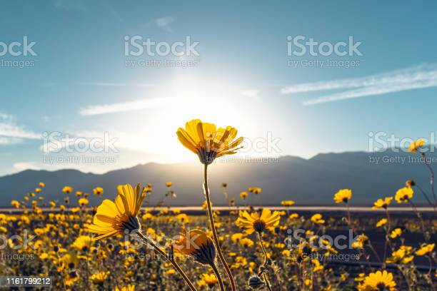 Photo of Desert Blossom Sunflowers at Sunset, Death Valley National Park, California