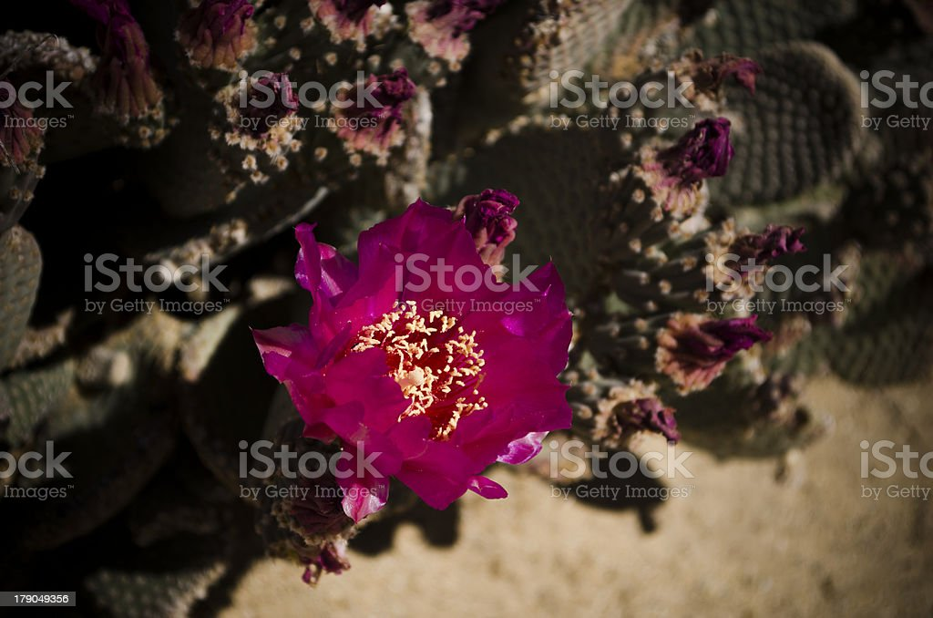 desert cactus bloom royalty-free stock photo
