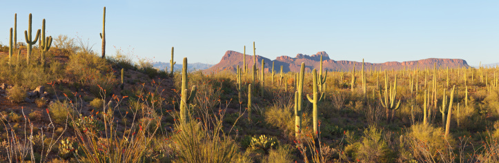 Desert Panorama of Saguaro Cactus and Ocotillo. Panther Peak and Safford Peak in the Background.