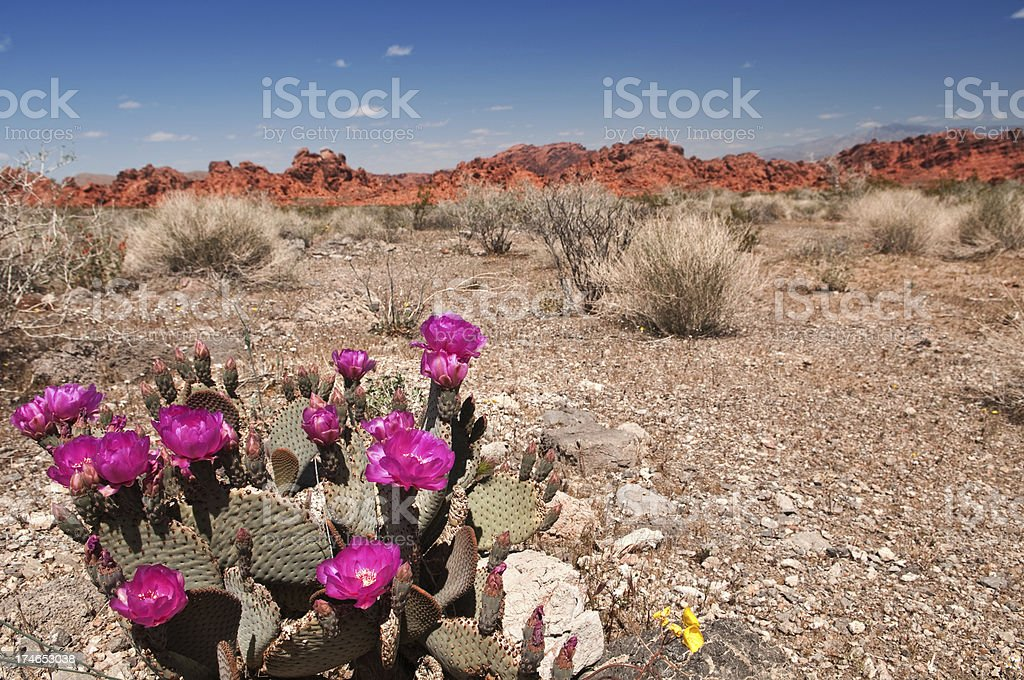 Desert Cactus royalty-free stock photo