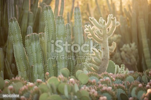 Many layers of cactus in the desert with the setting sun.