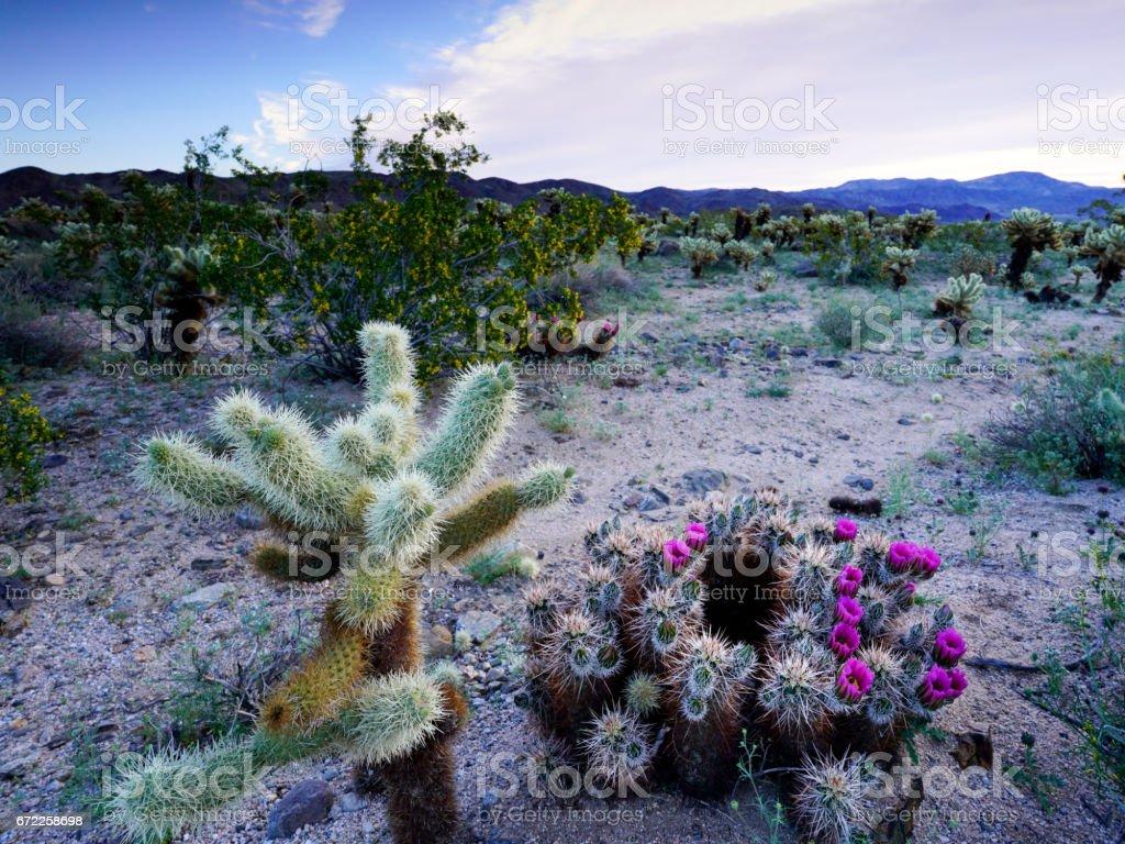 Desert Cactus Plants in Bloom stock photo
