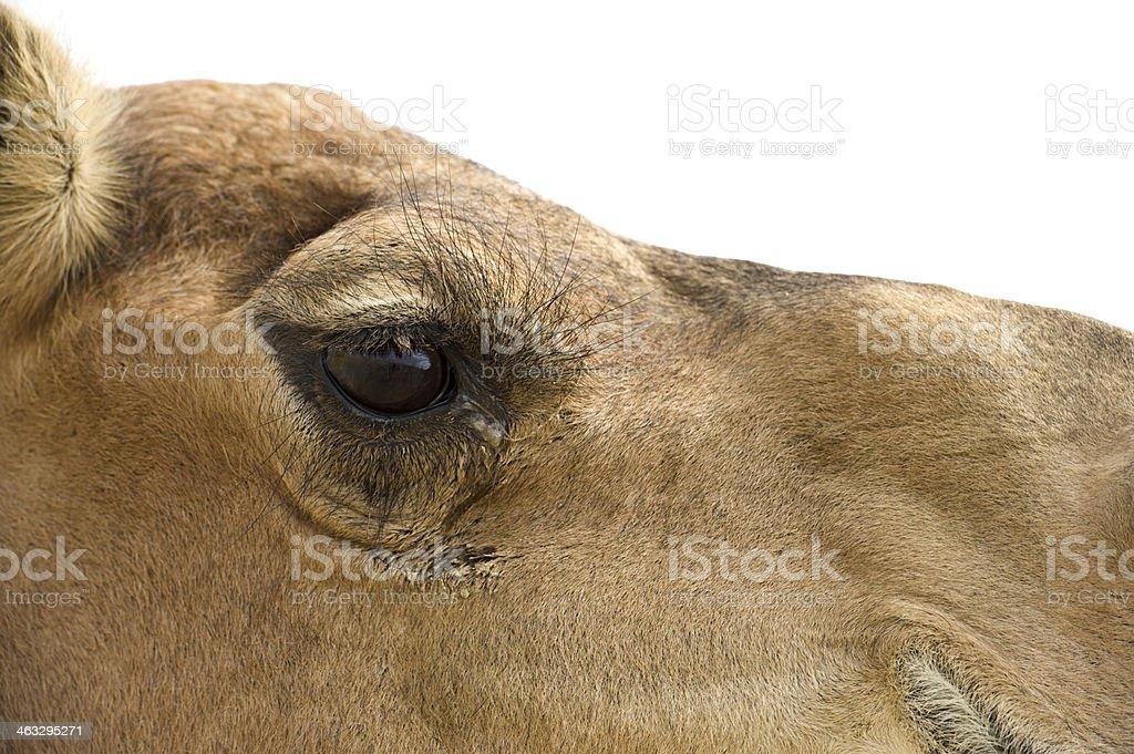 Desert camel royalty-free stock photo