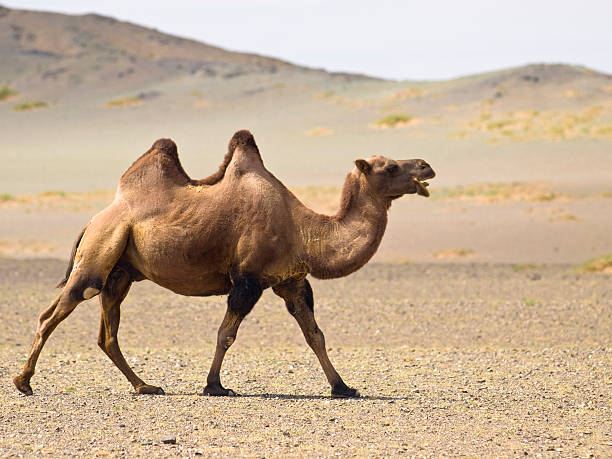 a desert camel with two jumps waking in the sand - deve stok fotoğraflar ve resimler