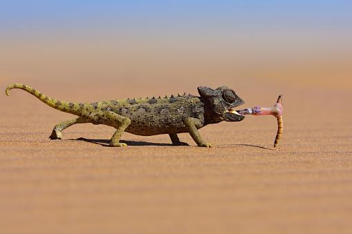 desert chameleon catching a worm