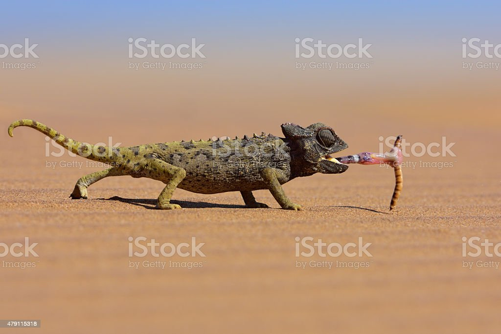 desert chameleon catching a worm stock photo