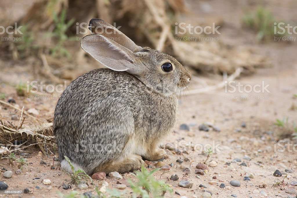 Desert Cottontail royalty-free stock photo