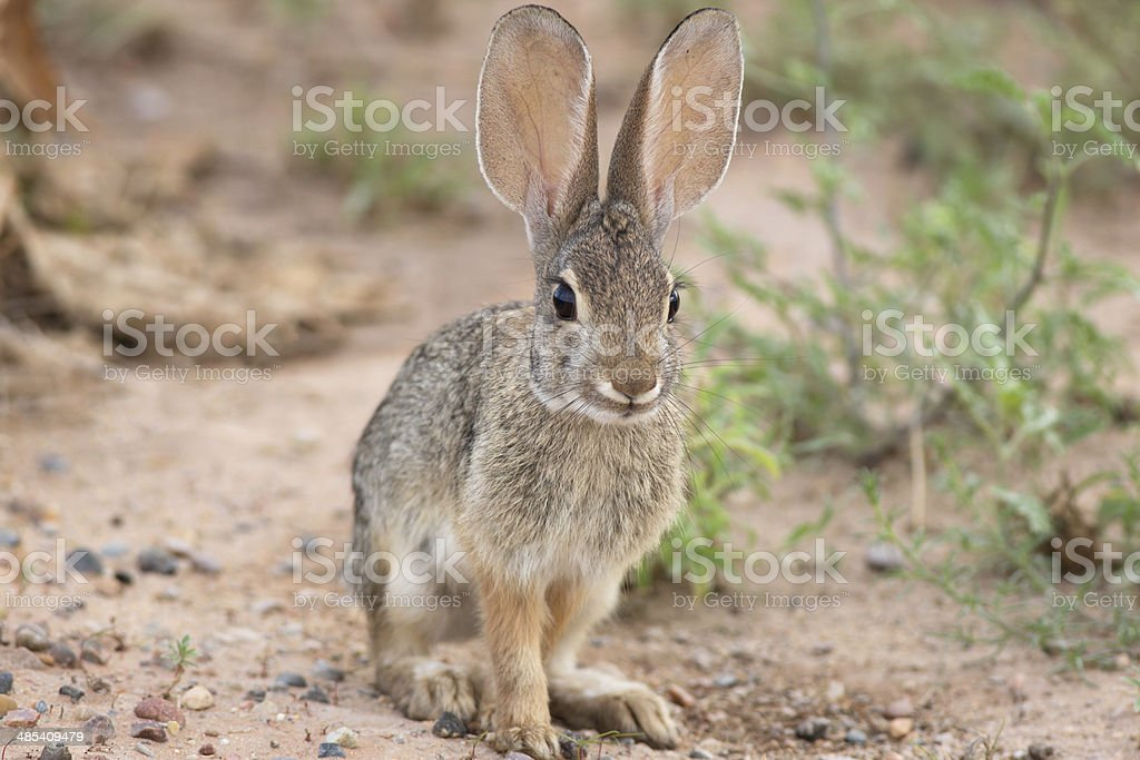 Desert Cottontail stock photo