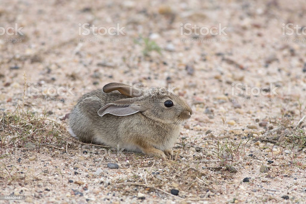 Desert Cottontail royalty-free stock photo