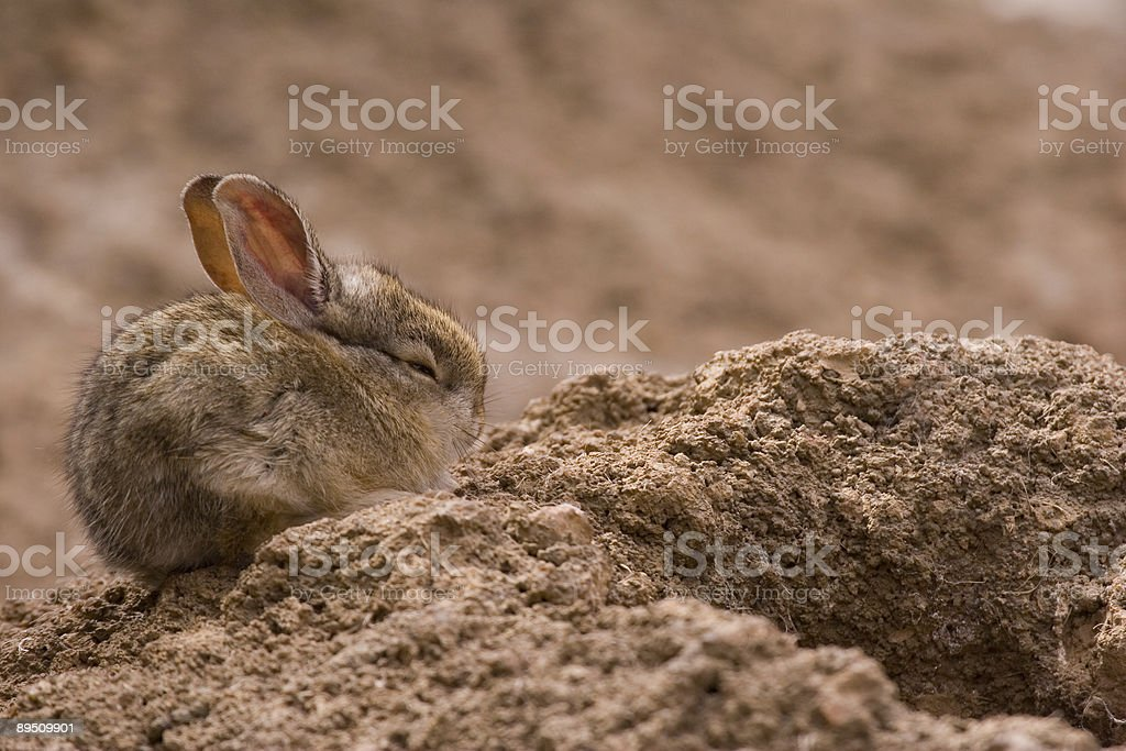 Desert Cottontail 免版稅 stock photo