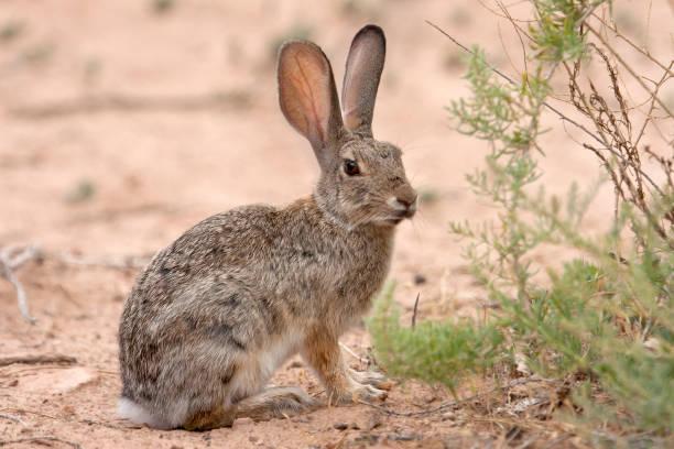 Desert cottontail rabbit hare Dominguez-Escalate National Conservation Area Colorado stock photo
