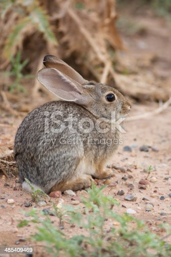 A Desert Cottontail Rabbit blends in with it's surroundings in northern Arizona.