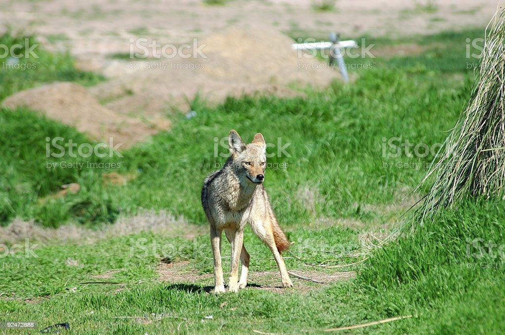 Desert Coyote 5 royalty-free stock photo
