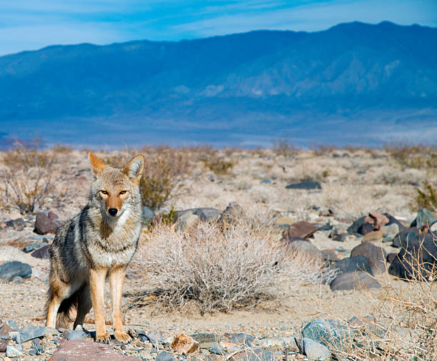Desert Coyote Watching You stock photo