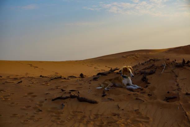 Einen einsamen Hund in der Wüste – Foto