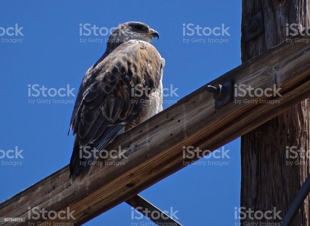 Desert Eagle Hawk Sentinel stock photo