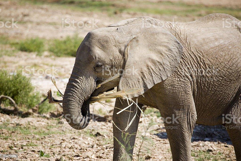 Desert Elephant Eating royalty-free stock photo