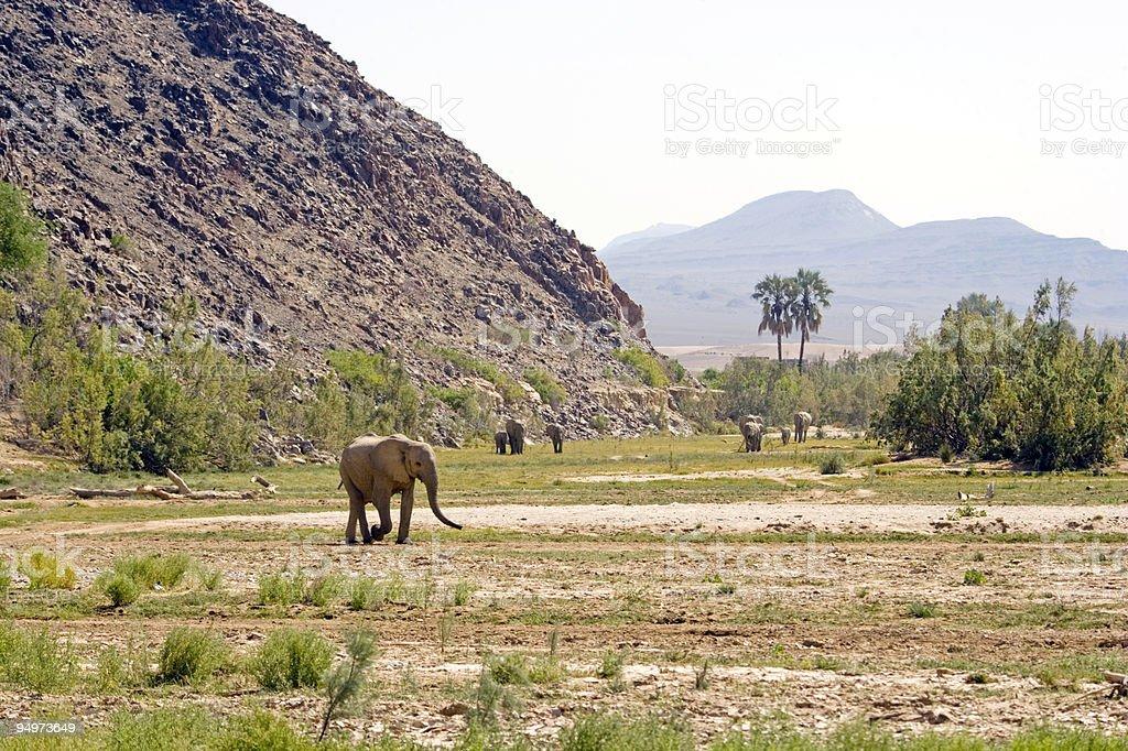 Desert Elephants in the Skeleton Coast royalty-free stock photo