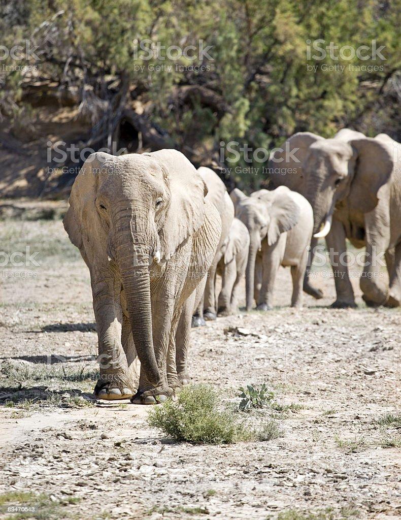 Desert Elephants on Parade royalty-free stock photo