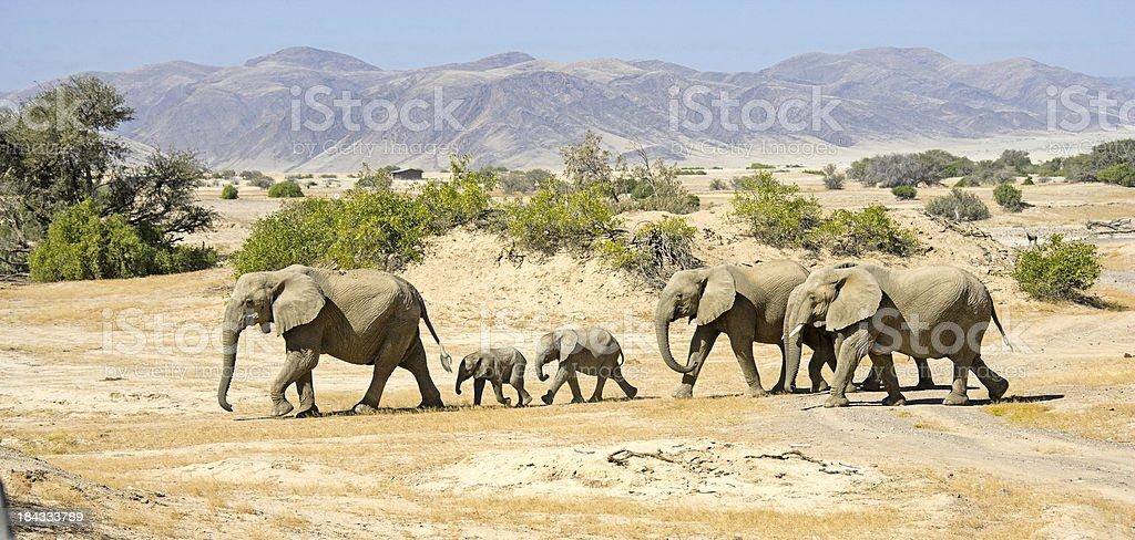 Desert Elephants royalty-free stock photo