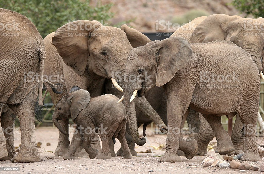 Desert Elephants royalty-free stock photo