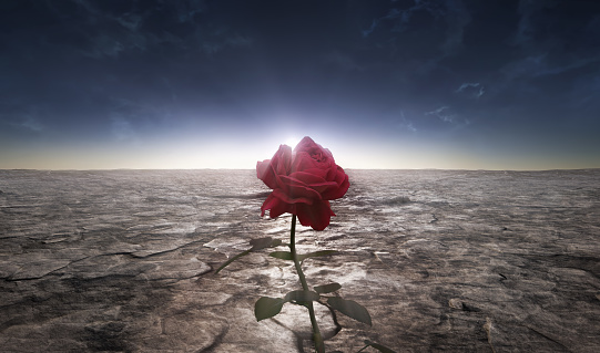 A picture of the rose flower grown in a dusty lifeless desert