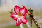 Close-up of a Desert Flower (Adenium obesum)