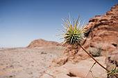 Flower in the Wadi Rum desert, Jordan