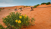 Desert Flowers at Coral Pink Sand Dunes State Park (horizontal)