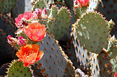 Prickly pear cactus in spring bloom