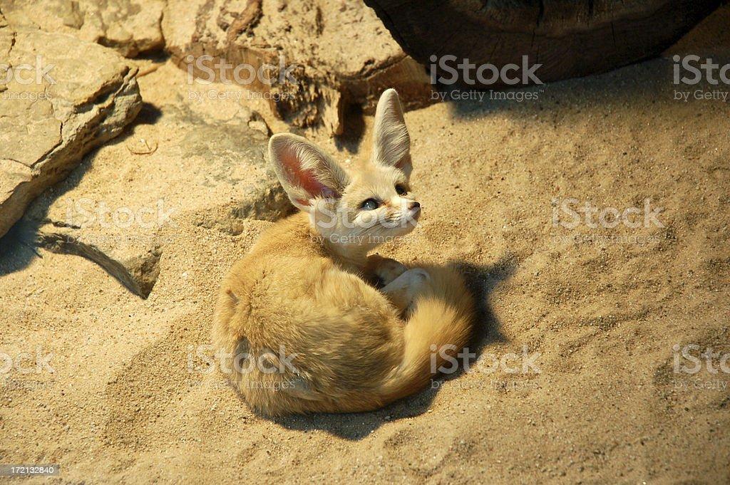 Desert Fox royalty-free stock photo
