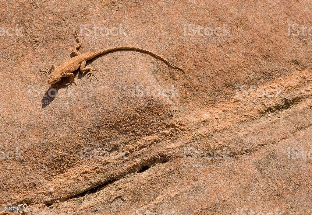 Desert Gecko on Sandstone royalty-free stock photo