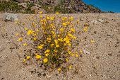 istock Desert Gold Poppy, Eschscholzia glyptosperma,  found in Joshua Tree National Park, California.  Papaveraceae. 1254162348