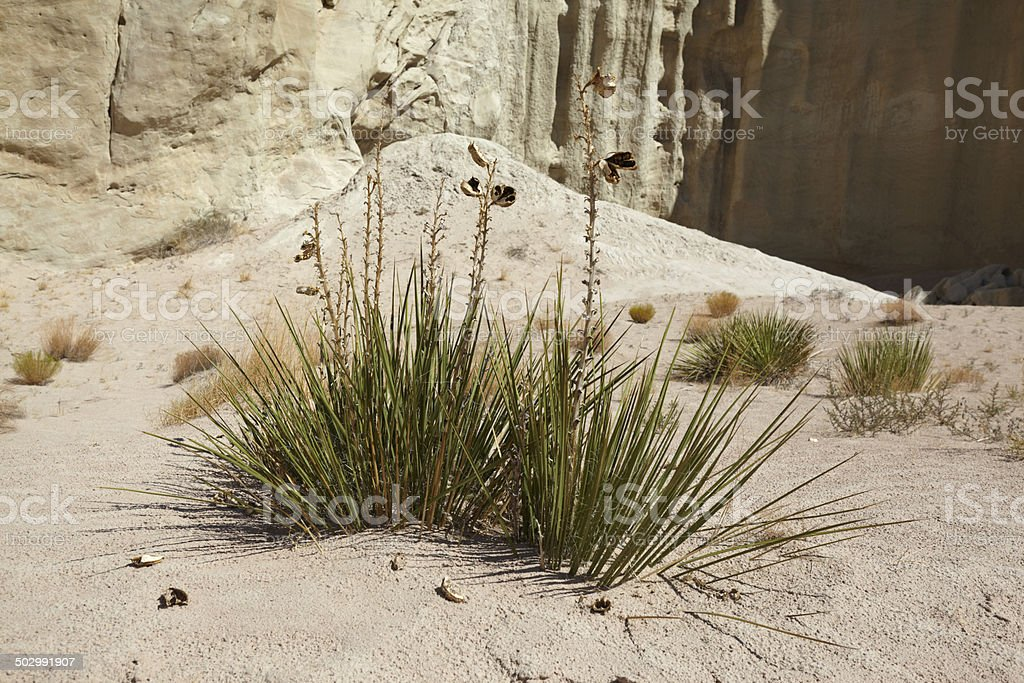 Desert Grass stock photo