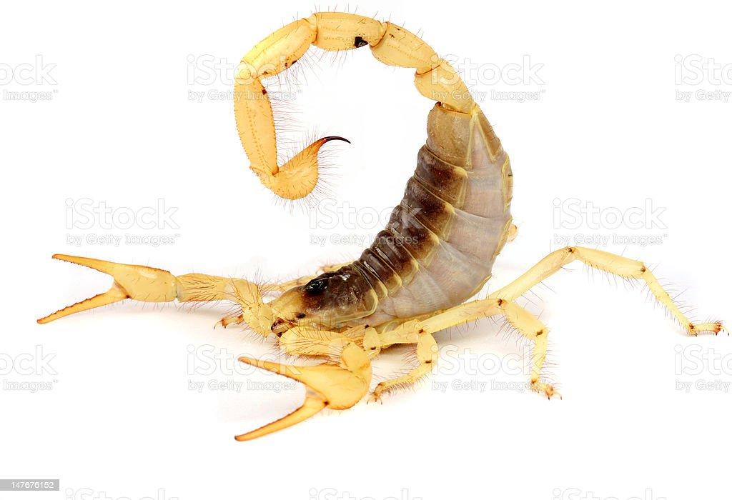 Desert Hairy Scorpion. stock photo