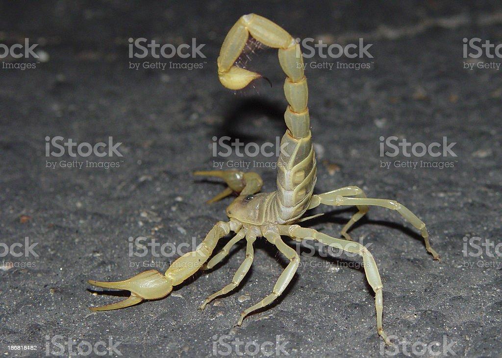Desert Hairy Scorpion royalty-free stock photo