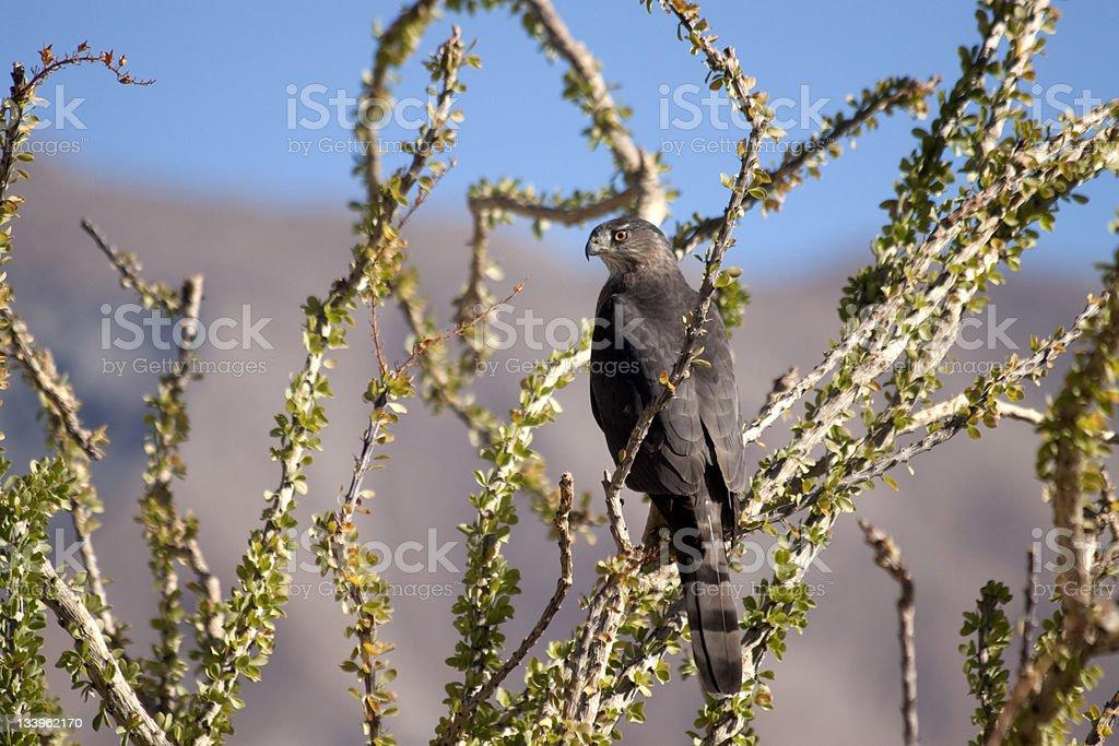 Desert Hawk stock photo