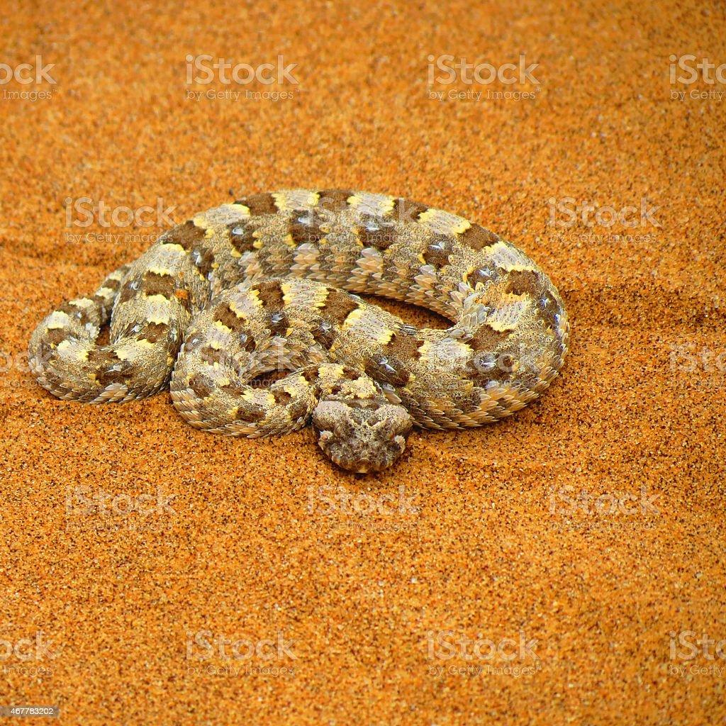 desert horned viper stock photo