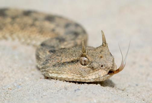 Desert Horned Viper (Cerastes cerastes) with Forked Tongue