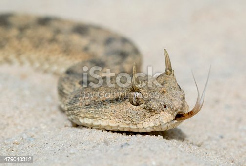 Desert Horned Viper (Cerastes cerastes) with Forked Tongue