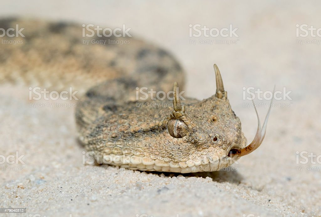 Desert Horned Viper with Forked Tongue stock photo