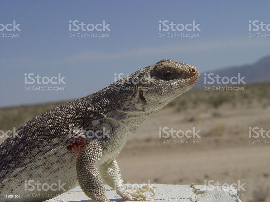 Desert Iguana royalty-free stock photo