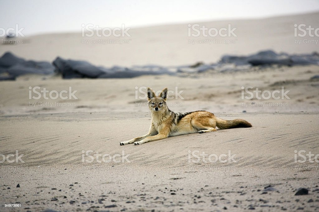 Desert Jackal on the Beach stock photo
