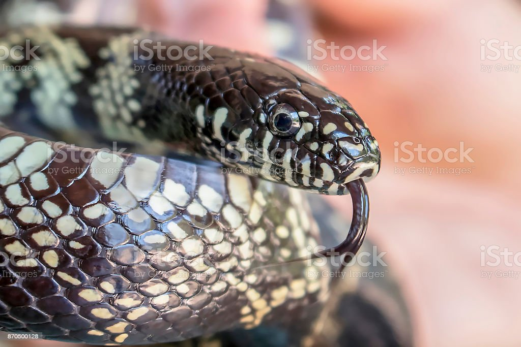 Desert King Snake Close Up with Tongue Out stock photo