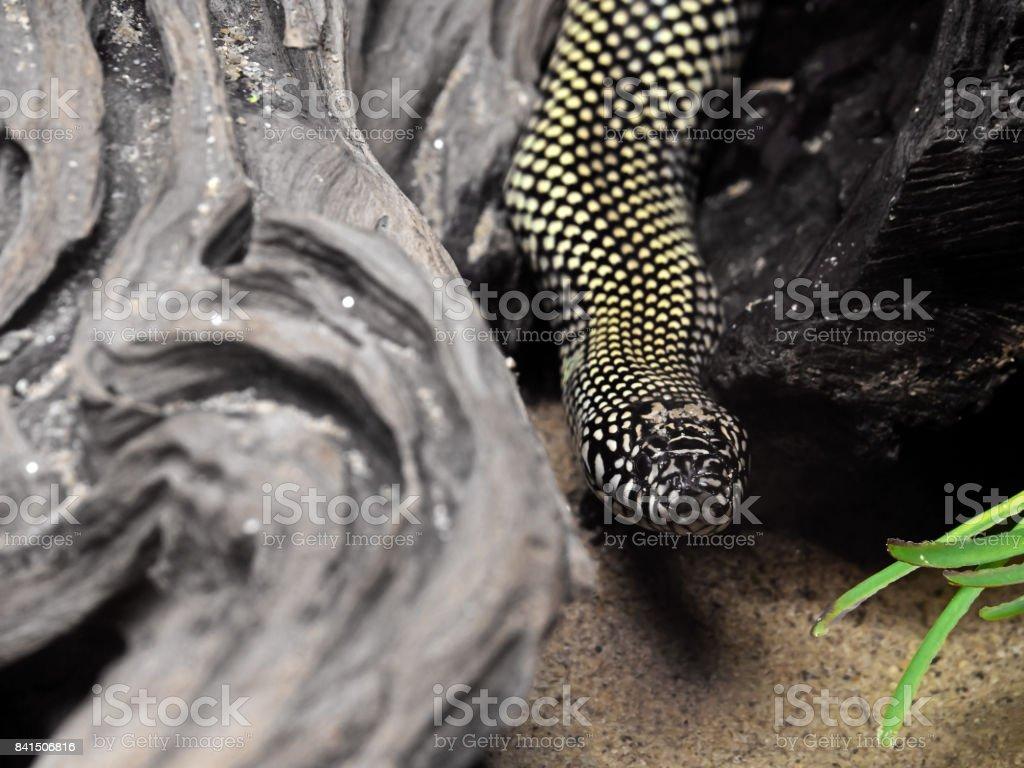 Desert Kingsnake or Lampropeltis Getula Splendida on Nature Background stock photo