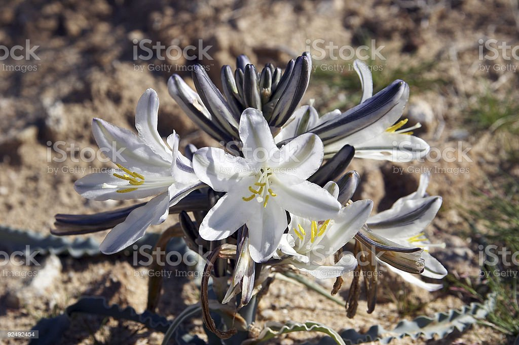Desert Lily royalty-free stock photo