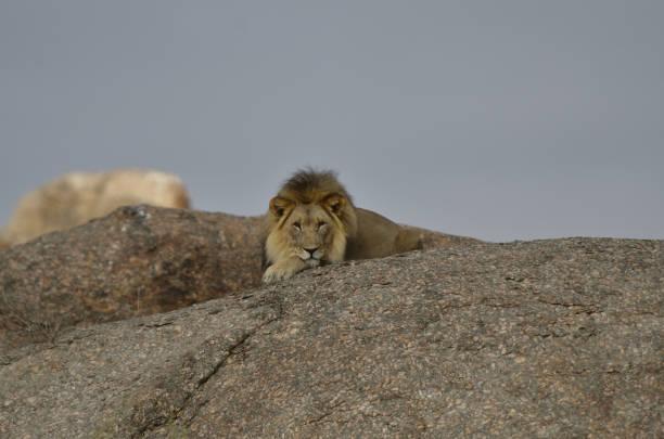 desert lion - namib wüste stock-fotos und bilder