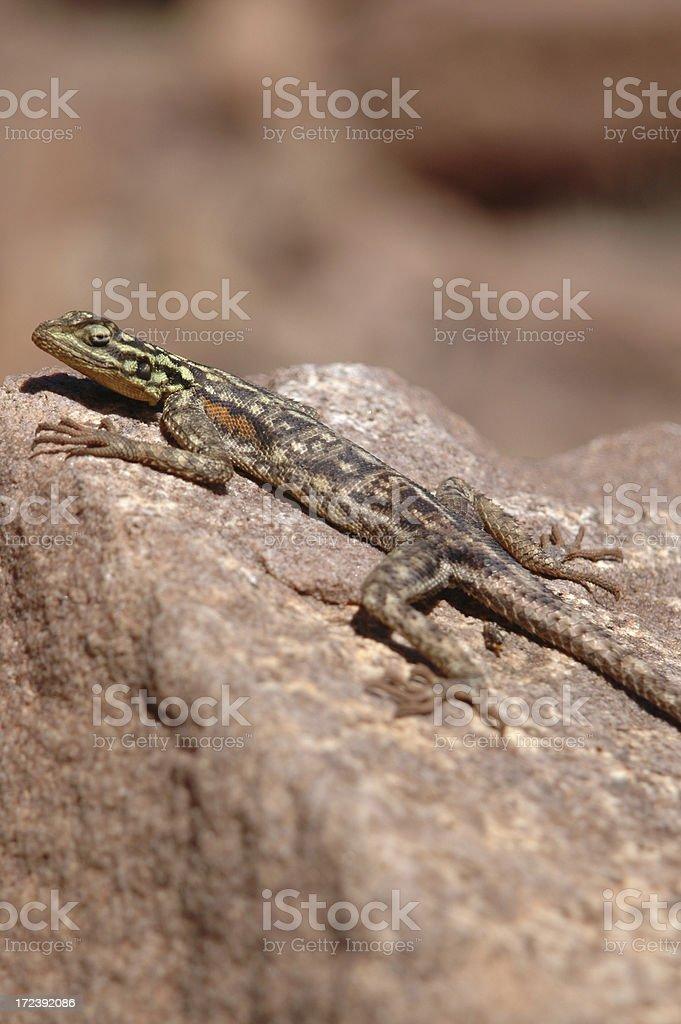 Desert lizard royalty-free stock photo